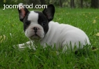 Amazing French Bulldog Puppy .. Call or Text     240 391 357